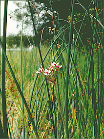 Krajowe tataraki na obrzeżach jezior.